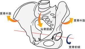 仙骨屈曲に伴う寛骨の外旋