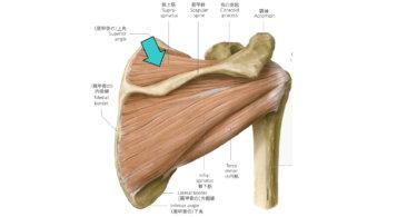 棘上筋の解剖学(起始・停止・作用・神経支配)と関連症状