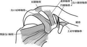 肩鎖関節周辺の靱帯
