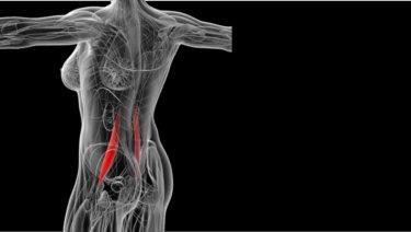 腸腰筋の解剖(起始・停止・作用・神経支配)と関連症状