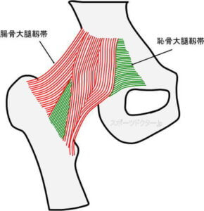 腸骨大腿靱帯と恥骨大腿靱帯