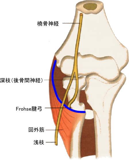 橈骨神経、後骨間神経